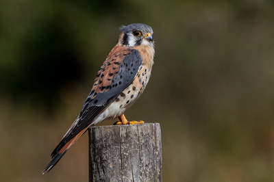 American Kestrel. Photo by Andy_Morffew
