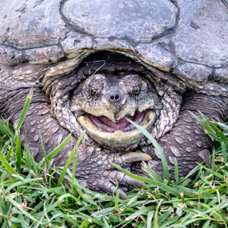 One Health Snapping Turtles