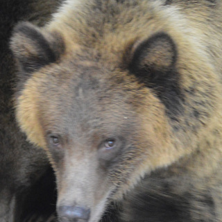 web Female Grizzly Bear Cub 9-23-16 Photo by Nora Waddell ZooMontana