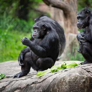 Chimpanzees Utamu Rosebud and Beauty