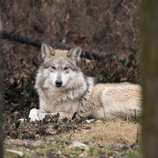 Mexican wolf at Endangered Wolf Center