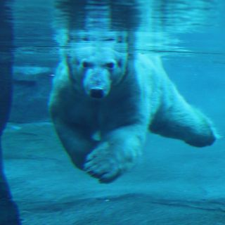 Polar Bear underwater at Kansas City Zoo