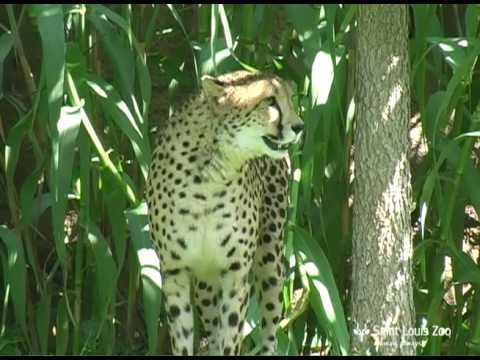 Cheetah running the lure course