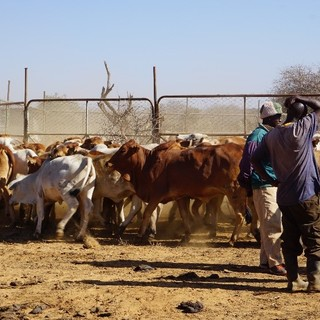 1 ICM-Kenya-trip cattle-herd