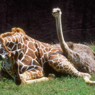 Giraffe and ostrich share a habitat at the Zoo.