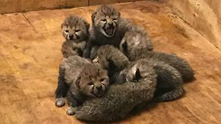 Cubs ages 1-16 days old