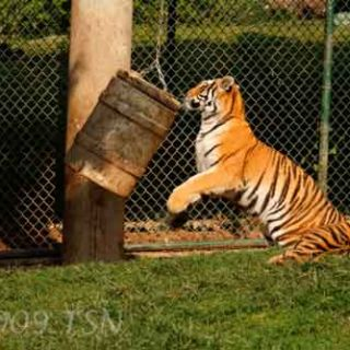 Tiger with barrel