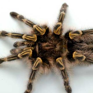 Chaco gold knee tarantula