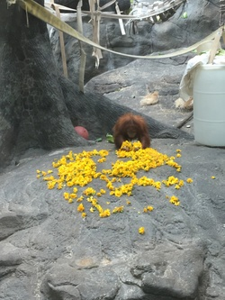 Orangutan enrichment with marigolds