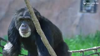 Chimpanzee Family Welcomes 26-Year-Old Kijana Into The Troop