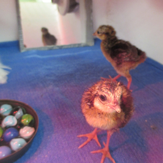 Edwards's pheasant chick