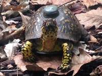 Raphael, a tagged eastern box turtle