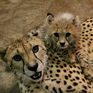 Cheetah cubs 12 weeks IMG 6421 Carolyn Kelly Saint Louis Zoo web