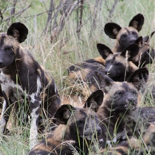 4 ICM-Kenya-trip painted-dog