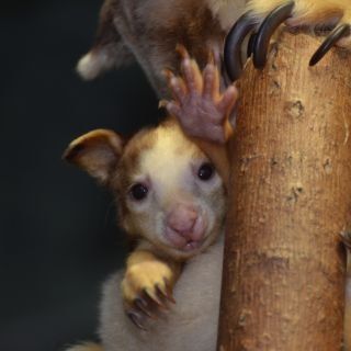Tree kangaroo joey 2012_press room