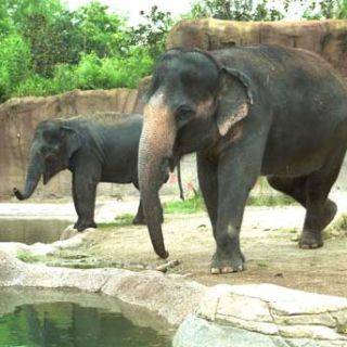 Asian elephants Ellie and Rani