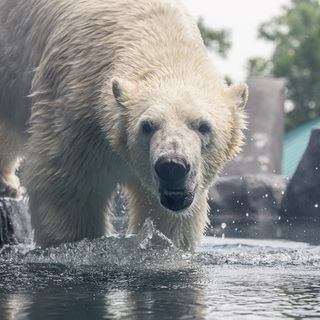 Polar bear Kali