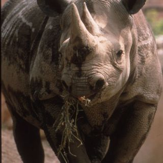 Black rhinoceros, viewed head-on