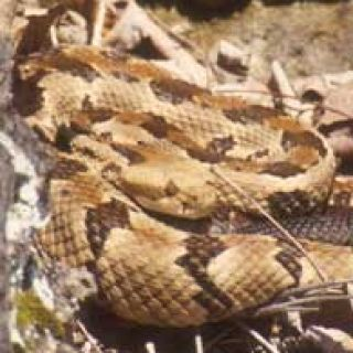 The timber rattlesnake's skin provides natural camouflage