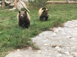 Grizzly bears Finley and Huck at ZooMontana