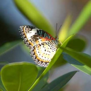 New lacewing butterfly