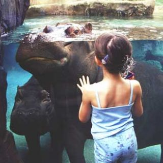 Girl watching hippos through glass at hippo harbor