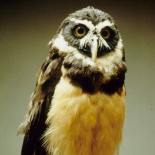 Adult spectacled owl