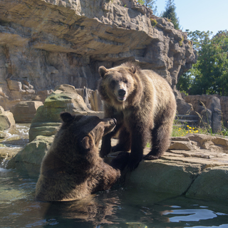 Grizzly bears Huck (left) Finley (right) Credit: Ray Meibaum Saint Louis Zoo