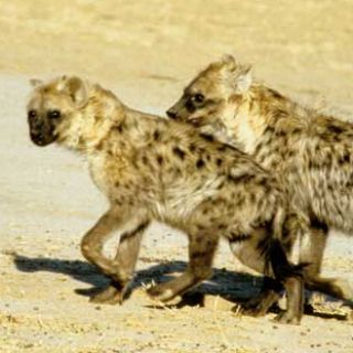 Spotted hyenas in the wild