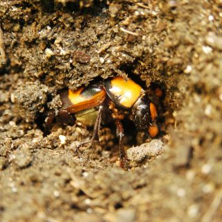 American burying beetle pupation_PR.jpg