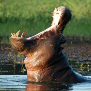 Hippos have a large mouth and long teeth