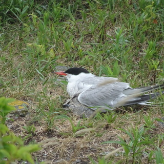 Roseate tern parent with chick