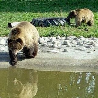 Grizzly bears Huck and Finley at ZooMontana