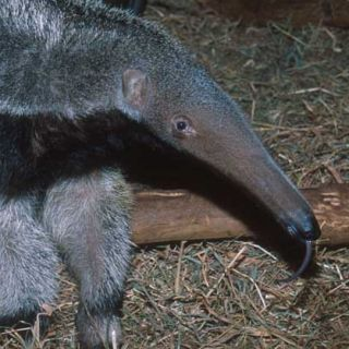 Giant anteater, with tongue displayed