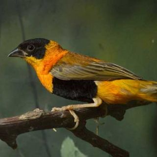Orange weaver finch