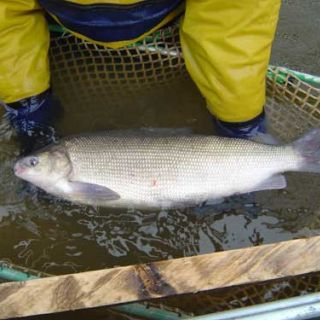 Broad whitefish