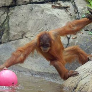Orangutan plays with a ball