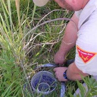 Zoo staff lay traps for American burying beetles