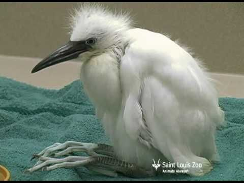 Snowy egret chick at 29 days old