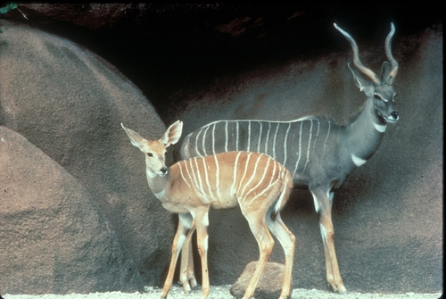 Kudu calf and mom