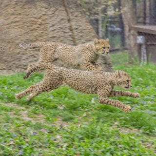 Cheetah cubs 4-26-18 Roger Brandt Saint Louis Zoo 046 web