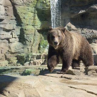 Grizzly bear Huck Credi:t Ray Meibaum Saint Louis Zoo