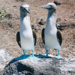 Galapagos Islands blue-footed boobies
