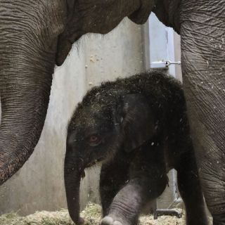 Rani and-asian-elephant-calf -MADI-CULBERTSON