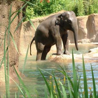 Asian elephant near pool