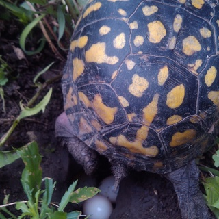 box turtle laying egg 2014
