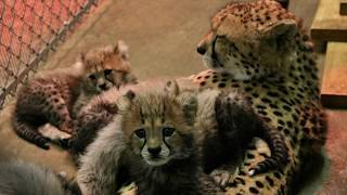 Cheetah Cubs at 10 Weeks Old