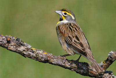 Dickcissel. Photo Courtesy of National Audubon Society.