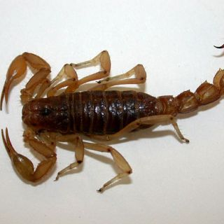 Devil striped-tailed scorpion