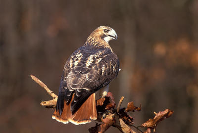 Red-tailed Hawk. Photo Courtesy of National Audubon Society.
